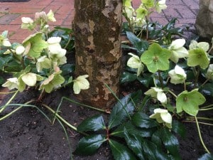 Hellebores with green faces.
