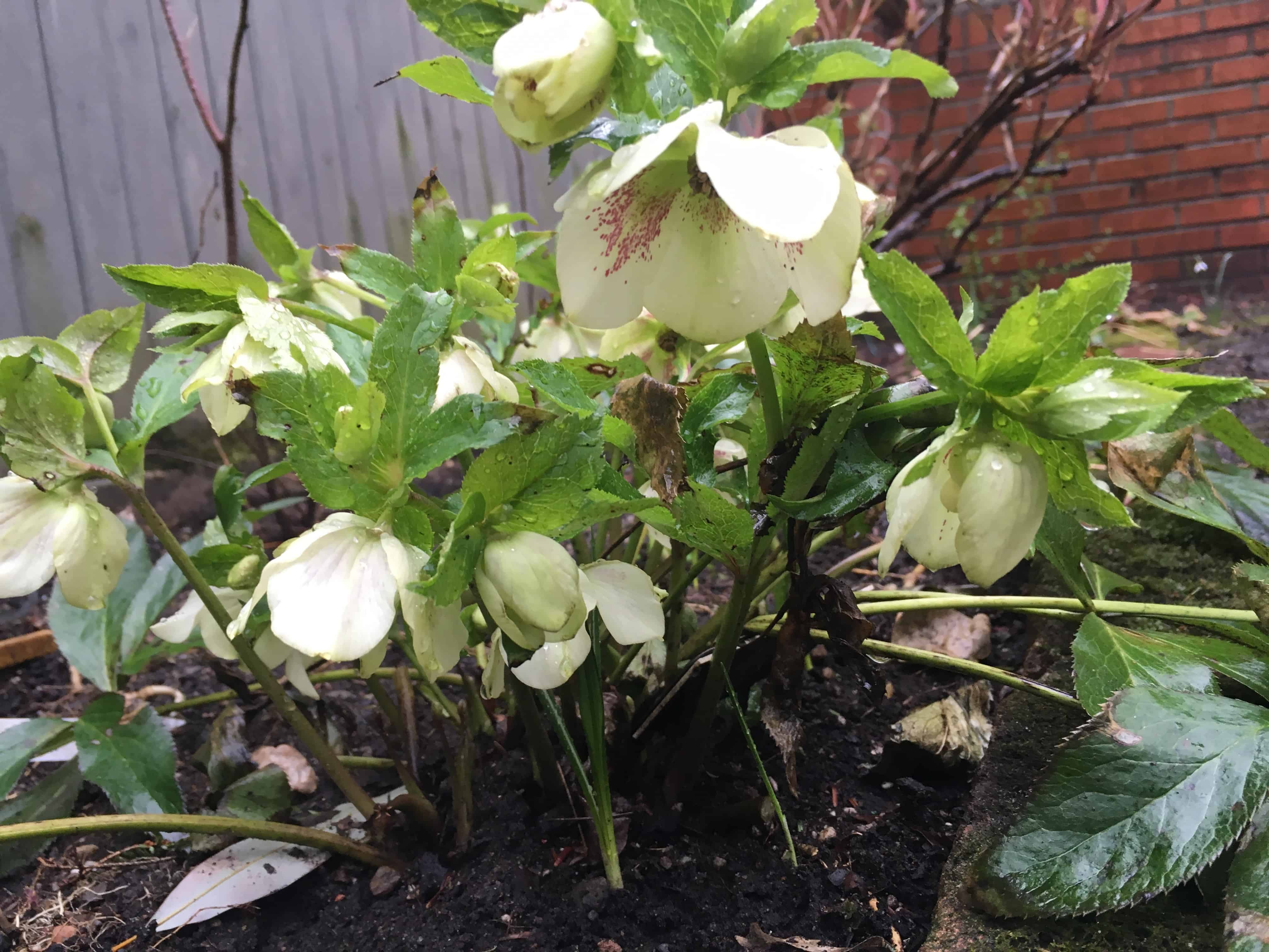 Spotted Hellebores.