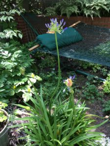Agapanthus in the garden.
