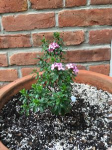Notes from the Garden: Daphne bush in a pot, flowering for the first time.