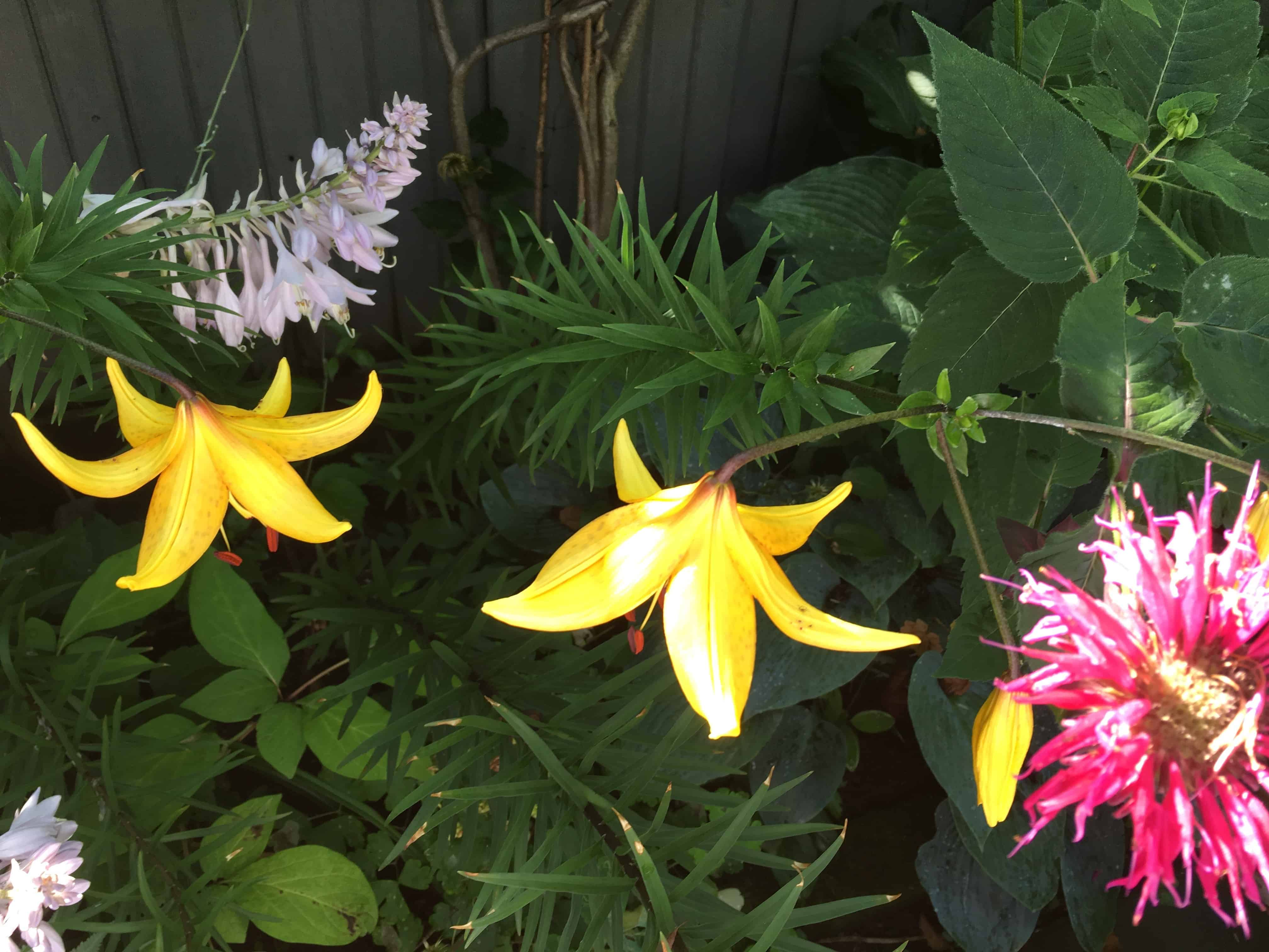 Another view of lillies in the garden.